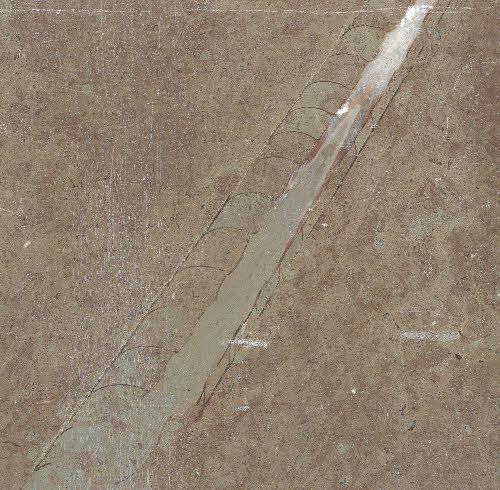 Öland, Kiillotettu kalkkikivilevy, jossa fossiilisia kuoria. Kuva-alueen leveys 14 cm.