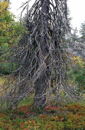Kiharainen kuusi. Kivitunturin geologinen luontopolku. Savukoski.